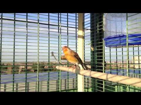 CANTO INCARDELLATO 1-2 HYBRID chardonneret mulet goldfinch stieglitz jilguero pintassilgo cardellino
