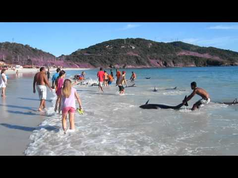 rare - filmed by Gerd Traue, Copyright Gerd Traue About 30 Dolphins stranded and saved by local people at Arraial do Cabo (Brazil) in the morning at 8:00 AM on Marc...
