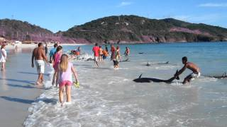 30 Dolphins Stranding And Incredibly Saved