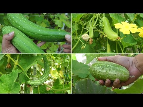 how to fertilize cucumber flowers