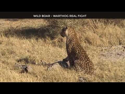 Wild Animals Fighting - Porcupine vs Lion, Leopard vs Boar, Elephant, Video African Animals