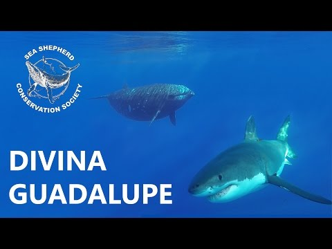 Divina Guadalupe Beaked Whale Research Project