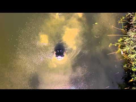 WATCH: Alligators Don't Like Drones!