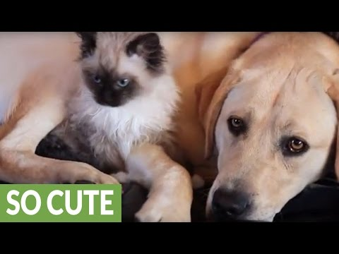 Adorable Kitten Cuddles Up to a Dog for Some Snuggles