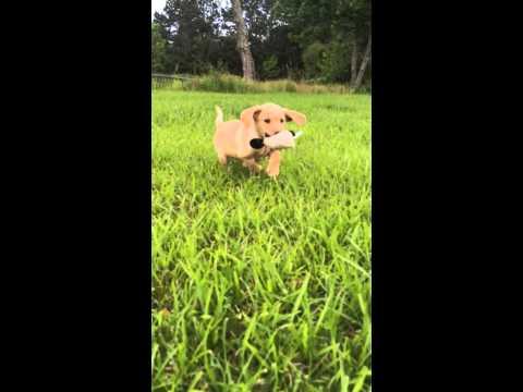 Puppy retrieving bumper