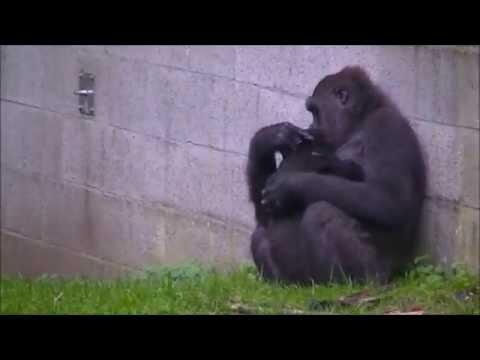 Gorillababy Shalita uit Burger Zoo plotseling overleden