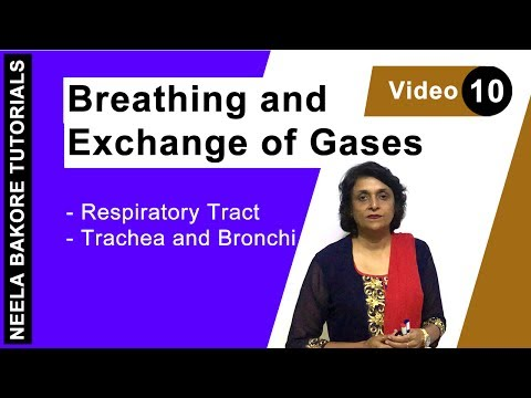 Breathing and Exchange of Gases - Respiratory tract - Trachea and Bronchi