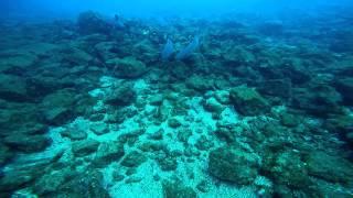 <h5>Whitetip Reef Sharks</h5>