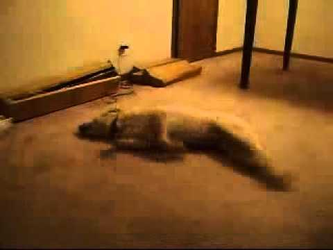 FUNNY VIDEO DREAM DOG RACE SLEEP CEYBOL -TV - ANIMAL + COMEDY *