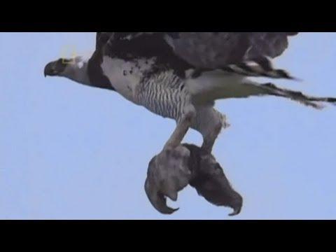 طائر عقاب يفترس حيوان الكسلان Eagle attacking Sloth