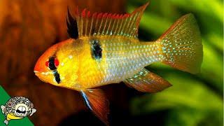 How to care for German Blue Ram Cichlids by Aquarium Co-Op
