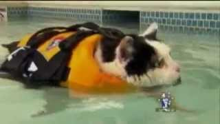 News Anchor Cracking Up over Swimming Cat