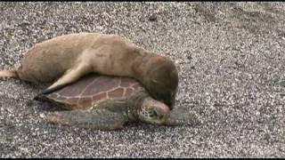 Морской львёнок на черепахе