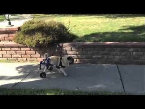 Pug on Wheels ~ Doggy Wheelchair