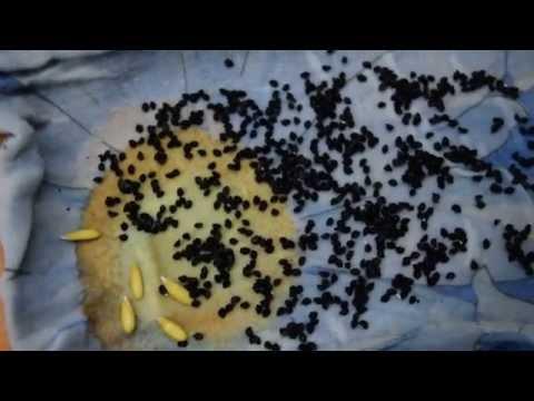 Когда сажают семена чернушки 455