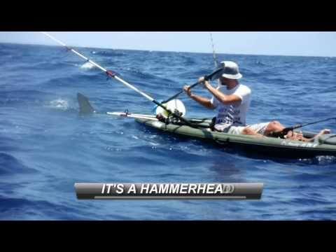 fisherman - A large hammerhead shark took I liking to my friends kayak while we were offshore fishing. The huge shark even bit the back and side of his kayak and had to ...