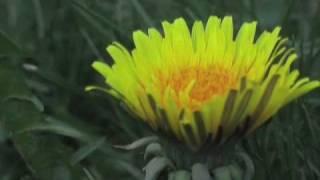 The Techno Dandelion
