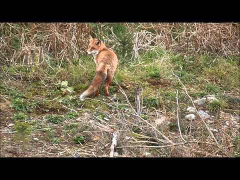 Revejakt 2015/fox hunting/fuchsjagt (видео)