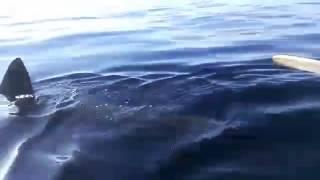 Video Requin blanc telmcen Algerie MP3, 3GP, MP4, WEBM, AVI, FLV Maret 2019