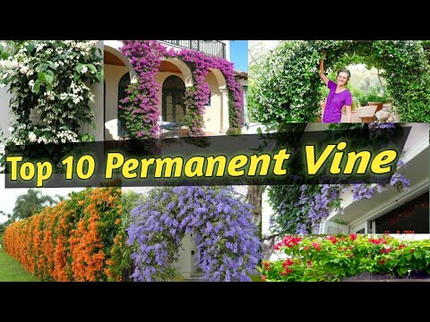 Top 10 Permanent Flowering Vine/Flowering creeper & climber for Indian Climatic condition.