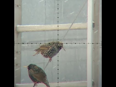 European Starlings and other farm pest birds getting blasted!