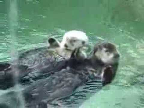 hands - Vancouver Aquarium: two sea otters float around, napping, holding hands. SO CUTE!