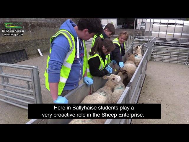 Sheep Enterprise at Ballyhaise College - Marie McGlynn