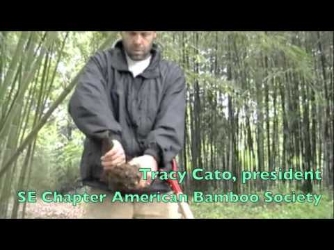how to harvest bamboo