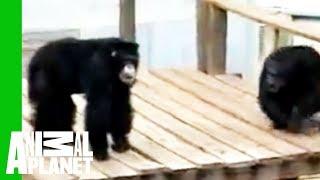 Facet nurkuje w zagrodzie małp, gdy personel ZOO odmawia ratowania tonącej i bezsilnej małpy.