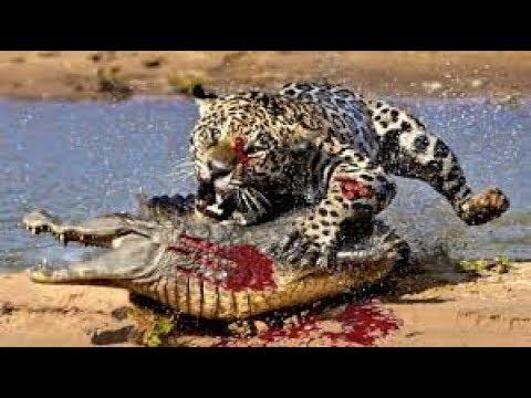 Amazing Jaguar Hunting Crocodile While Sleeping  Big Battle Animals Real HD
