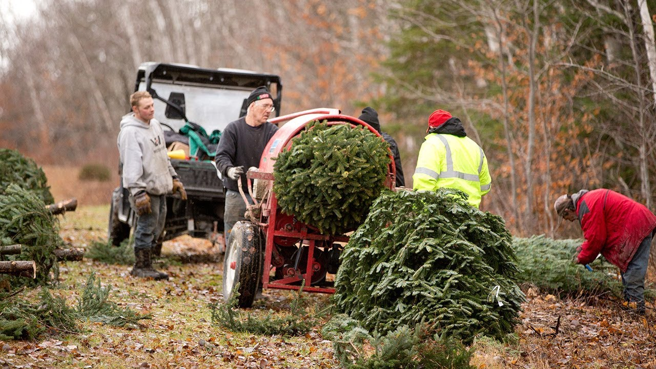The Voisine Family is creating holiday traditions one tree at a time. See how they produce thousands of firs for families throughout the northeast.