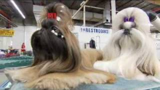 Dogs 101  Shih Tzu