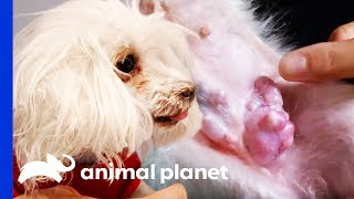 11 Year Old Dog Gets Large Mammary Tumor Removed | Dr. Jeff: Rocky Mountain Vet by Animal Planet