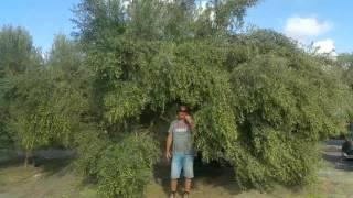 ניעור עץ מזן קורונייקי-כרם זיתים עץ השדה גבעת עדה- מסיק 2016