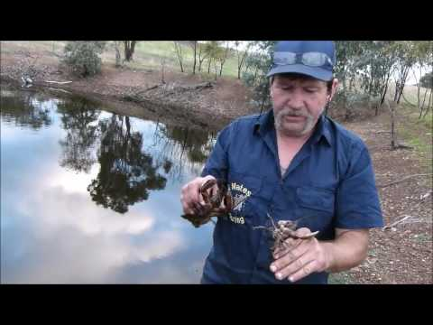 Catching Yabbies To Cook Bush Cooking Style