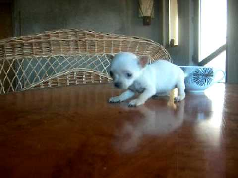 Chihuahua Small verry small