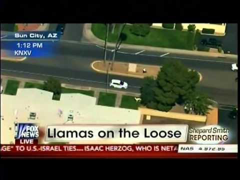 Llamas on the loose, this is real news reporting here....part 2 in comments