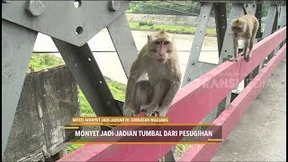 Video MITOS MONYET JADI-JADIAN DI JEMBATAN NGUJANG MP3, 3GP, MP4, WEBM, AVI, FLV Juni 2018