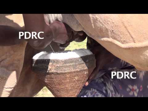 Video Milking Camels download in MP3, 3GP, MP4, WEBM, AVI, FLV January 2017