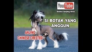 Video Anjing Chinese Crested Si Botak Yang Cantik & Anggun MP3, 3GP, MP4, WEBM, AVI, FLV Mei 2019