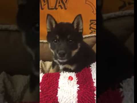 Cute Sweet Shiba Puppy Great With Kids UTD with Vaccines