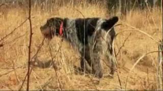 Dogs 101: Korthals Griffon