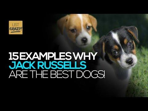 jack russell: un cane tutto da baciare