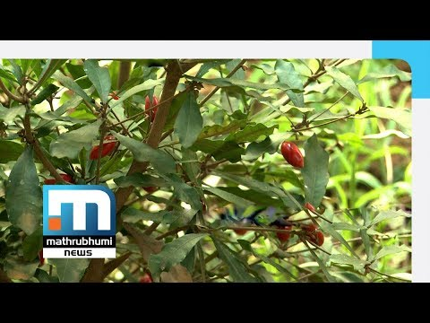 Miracle Fruit In Rasheed's Farm | Mathrubhumi News
