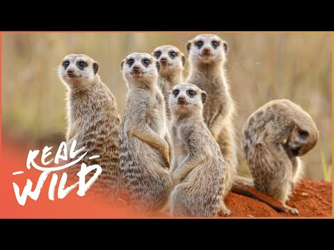 The Mongoose Bandits Of Selous (Wildlife Documentary) | Real Wild