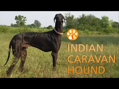 Indian Caravan hound (Karavan Hound or Mudhol Hound)