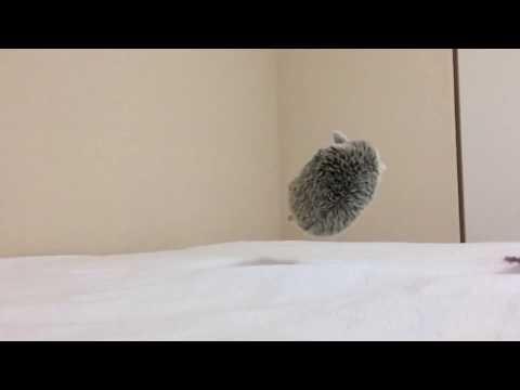 Orava sekoilee pehmosiilen kanssa