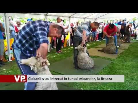 Ciobanii s-au întrecut în tunsul mioarelor, la Breaza