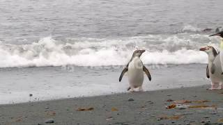 ROYAL PENGUINS EUDYPTES SCHLEGELI ARRIVING AT ENDERBY ISLAND BEACH WHERE KING PENGUIN IS WALKING ROS
