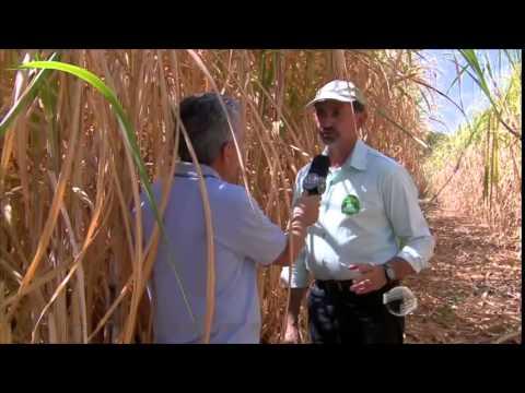Em Inhuma, produção de cana de açúcar volta em alta